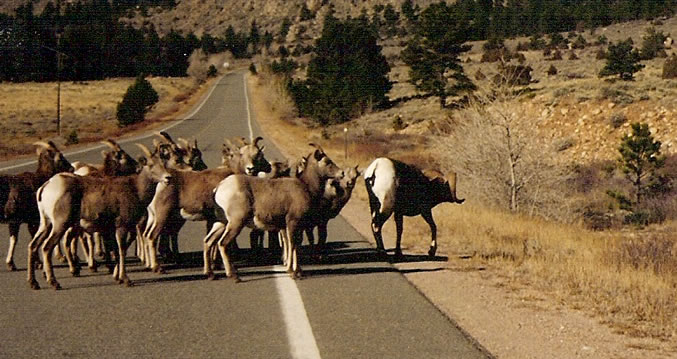 some rams in the middle of the road